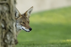 Peek-a-boo (Alan Vernon.) Tags: coyote mammal california dog male animal walking hunting canine southern hiding peeking prowl barking canis prowling latrans