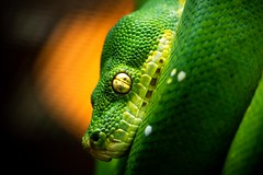 Green Tree Python 🐍 (benji.g) Tags: snake schlange python grünerbaumpython sony sonyalpha6400 sonyalpha sony90mmf28gmacro green farbenfroh grün collourful