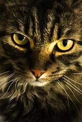 Chewie (Malamute01) Tags: cat chewbacca star wars moggie portrait