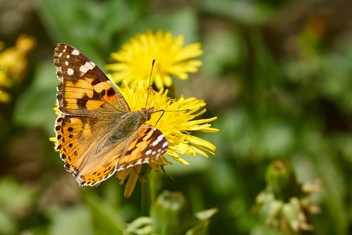 Butterfly ©  Alexxx Malev