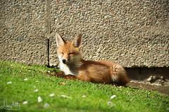 fox cub (NengHetty) Tags: smartphone photography universityofaberdeen aberdeen grampian scotland kingscollege lawn sunshine summer celebration fox cub