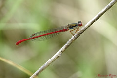 Agrion délicat (Ezzo33) Tags: ceriagriontenellum agriondélicat smallreddamsels france gironde nouvelleaquitaine bordeaux ezzo33 nammour ezzat sony rx10m3 parc jardin insecte insectes specanimal libellule dragonfly