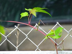 Vine (btusdin) Tags: vine fence chainlink