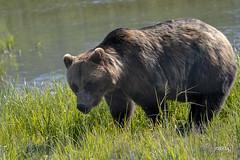 Grizzly Bear (jt893x) Tags: 150600mm bear brownbear d500 grizzlybear jt893x nikon nikond500 sigma sigma150600mmf563dgoshsms ursusarctos alittlebeauty coth thesunshinegroup coth5