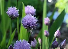 Garden Chives (jmunt) Tags: gardenflower garden flower chives