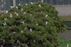 NON SONO FRUTTI    ----    NO FRUITS (Ezio Donati is ) Tags: uccelli birds animali animals alberi trees fiume river natura nature westafrica costadavorio fiumebandana areataboo
