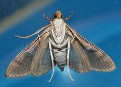 Teenas splashy moth Agrotera amathealis Spilomelinae Crambidae Teenas Rainforest Airlie Beach P1060407 (Steve & Alison1) Tags: teenas splashy moth agrotera amathealis spilomelinae crambidae rainforest airlie beach