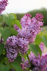 I Spy(der) (RobinMarie82) Tags: lilacs purple spider