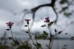 ... (johnpaddler) Tags: flower oslo norway stankstorkenebb geraniumrobertianum herbrobert cranesbill