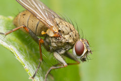Fly (Rich Lukey) Tags: fly insect animal bug nikon d7100 sigma 105mm flash extension achromat homemade diffuser
