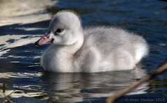 Trumpeter Swan Cygnet (Arvo Poolar) Tags: outdoors ontario canada scarborough scarboroughbluffs arvopoolar bird water reflections nature naturallight natural naturephotography nikond500 trumpeterswan cygnet