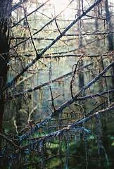 Wet Light (Mano Green) Tags: trees forest branches light loch lochy scotland uk highlands summer june 2016 canon eos 300 40mm lens kodak gold 200 35mm film colour portrait outdoors nature great glen way walk hike