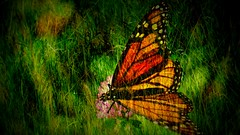 Butterfly - Flora and Fauna (Toats Master) Tags: smileonsaturday floraandfauna twoinone doubleexposure butterfly monarch nature