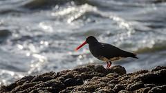 Variable Oystercatcher (Stefan Marks) Tags: tasmansea animal bird haematopusunicolor nature ocean outdoor oystercatcher rock toreapango tōreapango variableoystercatcher wave aucklandwaitakere northisland newzealand