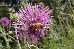 2123 (bluefootedbooby) Tags: fiore cardo ape bee flower thistle