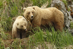 The Tongue (danielusescanon) Tags: alaska peninsula brownbear ursusarctosgyas grizzly yearling cub mother sow female lakeclarknationalpark