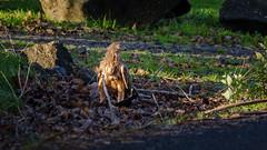 Kahu and its dinner (Stefan Marks) Tags: animal bird circusapproximans dead harrier kahu kāhu nature outdoor porphyriomelanotus pukeko pūkeko road swampharrier aucklandwaitakere northisland newzealand