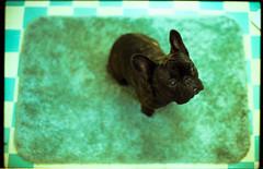 rico on 35mm (Duke of Gnarlington) Tags: rico frenchie french bulldog dog puppy brindle bathroom tile canon a1 rug film kodak portra 400 analog