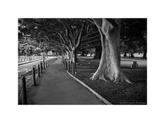 Art Gallery Road, Sydney 2019  #953 (lynnb's snaps) Tags: 35mm artgalleryroad cvultron35mmf2vintagemmo id11 ilfordhp5 leicacl thedomain bw blackandwhite city film trees cvultron35mmf2vintagemmount sydney australia leicafilmphotography rangefinderphotography footpath peaceful bianconegro biancoenero blackwhite bianconero blancoynegro noiretblanc schwarzweis monochrome ishootfilm filmneverdie 2019