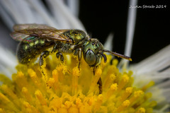 Sweat Bee 2 (strjustin) Tags: sweatbee beautiful bug bee pollen mpe macro flower