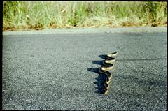 a snake on the bike path (Duke of Gnarlington) Tags: snake bikepath biking portra 400 canin a1 film analog