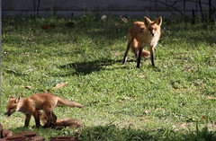 Red Fox Family (jd.willson) Tags: jd willson jdwillson nature wildlife red fox vulpes kits