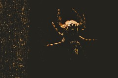 The Victim (Dims Dallaire) Tags: spider closeup