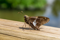 Silver-Spotted Skipper (agasfer) Tags: 2019 southcarolina greenville furman sony a6000 sonye3556pz1650oss swanlake butterflies