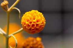 Orange ball buddleja (vishal anand) Tags: canon t6s 760d tamron tamron18400 california nature flowers flower sanfransisco