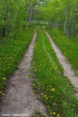 Take Me Home (walkerross42) Tags: aspens trees country road lane wildflowers flowers dandelions bennington idaho green grove rural