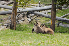 Big kids (ChicagoBob46) Tags: grizz grizzly grizzlybear bear cub cubs yellowstonenationalpark yellowstone nature wildlife coth5 ngc naturethroughthelens npc