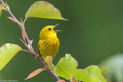 CA3I3917-Yellow Warbler (tfells) Tags: yellowwarbler songbird passerine bird nature wildlife mercer newjersey setophagapetechia