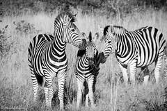 Family Time - Zebra style (Mark.W.E) Tags: 2019 africa animal animals canon canon70d kruger krugernationalpark safari scenery sigma sigma18250 southafrica nationalpark nature southernafrica