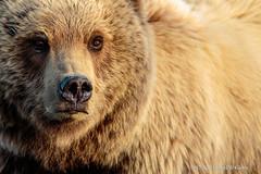Brown Bear Portrait (danielusescanon) Tags: alaska peninsula brownbear grizzly ursusarctosgyas female sow closeup lakeclarknationalpark wild nature