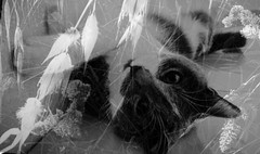 SmileOnSaturday/ Two in one (Isabelle****) Tags: smileonsaturday twoinone chat cat nature flore flora surimpression noiretblanc blackandwhite doubleexposition doubleexposure