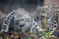 Brotherly Love....... (law_keven) Tags: menageriezoodeplanteszoo menagerie paris france animals bigcats leopard wildlife wildlifephotography photography leopards snowleopard cats animalphotography