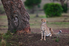 Kisaru Surveying (Xenedis) Tags: acinonyxjubatus africa afrika animal bigcat cat cheetah duma eastafrica grass kenya kisaru maasaimara maranorthconservancy narokcounty plains republicofkenya riftvalley safari tree wildlife ig fh