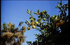millbrae lemons (Duke of Gnarlington) Tags: