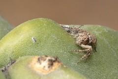 Hamataliwa (carlos mancilla) Tags: arácnidos arañas spiders hamataliwa oxyopidae canoneos700d canoneosrebelt5i ef100mmf28macrousm