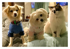 Ready for Bed ... (Mary Faith.) Tags: cat dog pets pyjamas clothes three animal bed nightwear