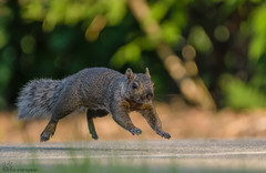Running Squirrel. (9) (Estrada77) Tags: squirrel furrycreatures furr rodents groundcreatures mammals wildlife outdoors kanecounty illinois spring2019 nikon nikond500200500mm nature animals