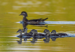 Mama Wood Duck and Ducklings. (1) (Estrada77) Tags: woodduck water foxriver ducks birds birding wildlife outdoors kanecounty illinois spring2019 nikon nikond500200500mm nature animals