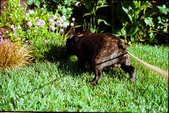 a sun kissed morning walk with rico (Duke of Gnarlington) Tags: frenchie french bulldog millbrae bay area san francisco suburb morning walk dog puppy grass front yard garden canon a1 portra kodak 400 analog film