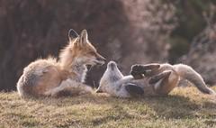 Attention seeking behaviour (Tracey Rennie) Tags: fox vixen cub kit pup mother alberta wild