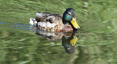 Mallard reflection (Ian Robin Jackson) Tags: mallard duck scotland lake walkersdam reflections colours sony zeiss nature spring feathers beak bill drake colourful