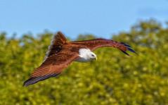 over the mangroves - brahminy kite #2 (Fat Burns ☮) Tags: brahminykite haliasturindus kitel raptor bird australianbird nature australiannature fauna australianfauna wildlife australianwildlife nudgeebeach brisbane queensland australia nikond500 nikon20005000mmf56vr outdoors