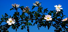 Dzikie róże. (andrzejskałuba) Tags: poland polska pieszyce dolnyśląsk silesia sudety europe plant roślina rose róża rośliny natura nature natural natureshot natureworld niebieski niebo nikoncoolpixb500 sky beautiful blue biały yellow pink zieleń green garden ogród twig gałązka flower flora floral flowers kwiat kwiaty wild white wiosna spring leaves liście macro pąki bud buds color żółty różowy 1000v40f