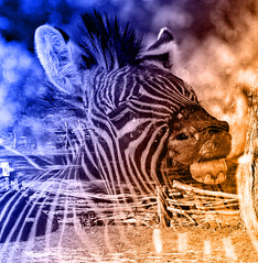 Zebra in the bush (Johann (Still Me!)) Tags: zebra sebra smileonsaturday twoinone johanndejager ef100400mmf4556lisusm canoneos7dmarkii hss sliderssunday