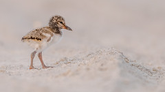 Life has many hurdles (Kevin E Fox) Tags: oystercather chick haematopuspalliatus nassaucounty lidobeach nickersonbeach newyork bird birdwatching birding birds birdphotography nature nikond500 nikon sigma150600sport sigma shorebirds shorebird