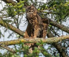 Great Horned Owl preening (RebelRob) Tags: britishcolumbia birds birdwatching birdsofprey greathornedowl owls bubovirginianus vancouverisland victoriabc raptors